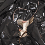 Eco Friendly Ways To Get Rid Of Rats