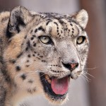 International Snow Leopard Day Is Oct 23