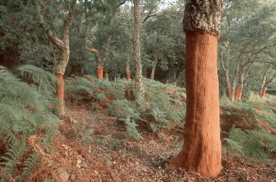 Recently stripped cork trees in ancient forest near Algeciras, Andalucia. Spain. Image Panda