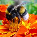 Saving Bees With Bee Friendly Gardens