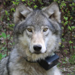 $5000 Reward Offered For Wolf Killing in Oregon