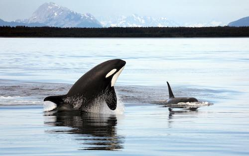Another Orca Death Brings Population To Only 75